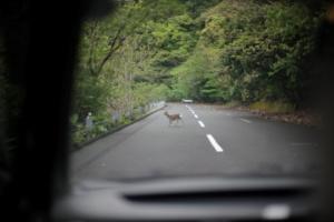 ドライブで見つけた屋久鹿