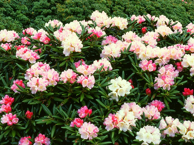 屋久島の花ヤクシマシャクナゲ